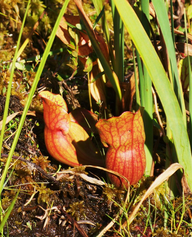 Pitcher Plants, Kelso River