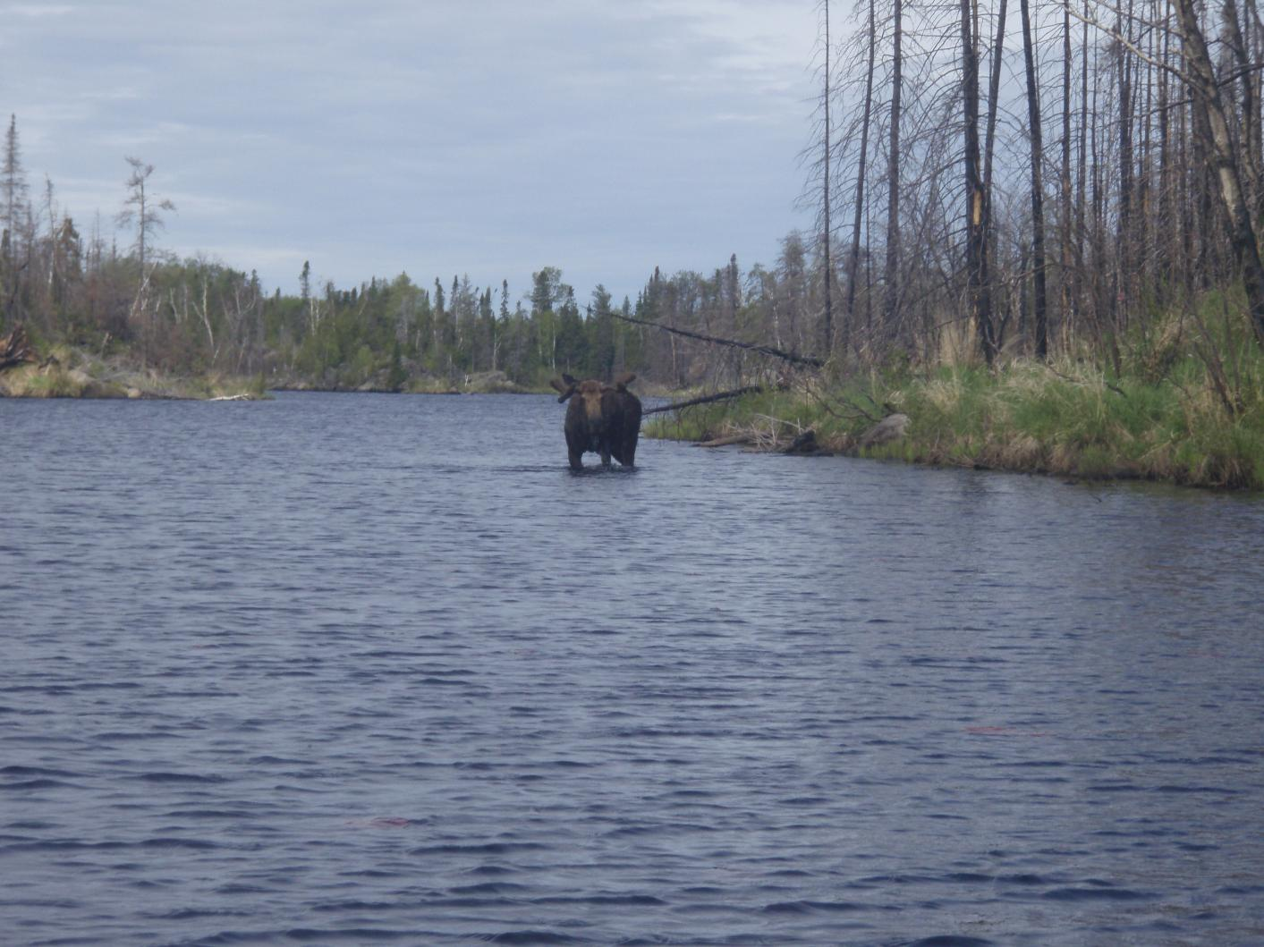 Moose -Iron Lake