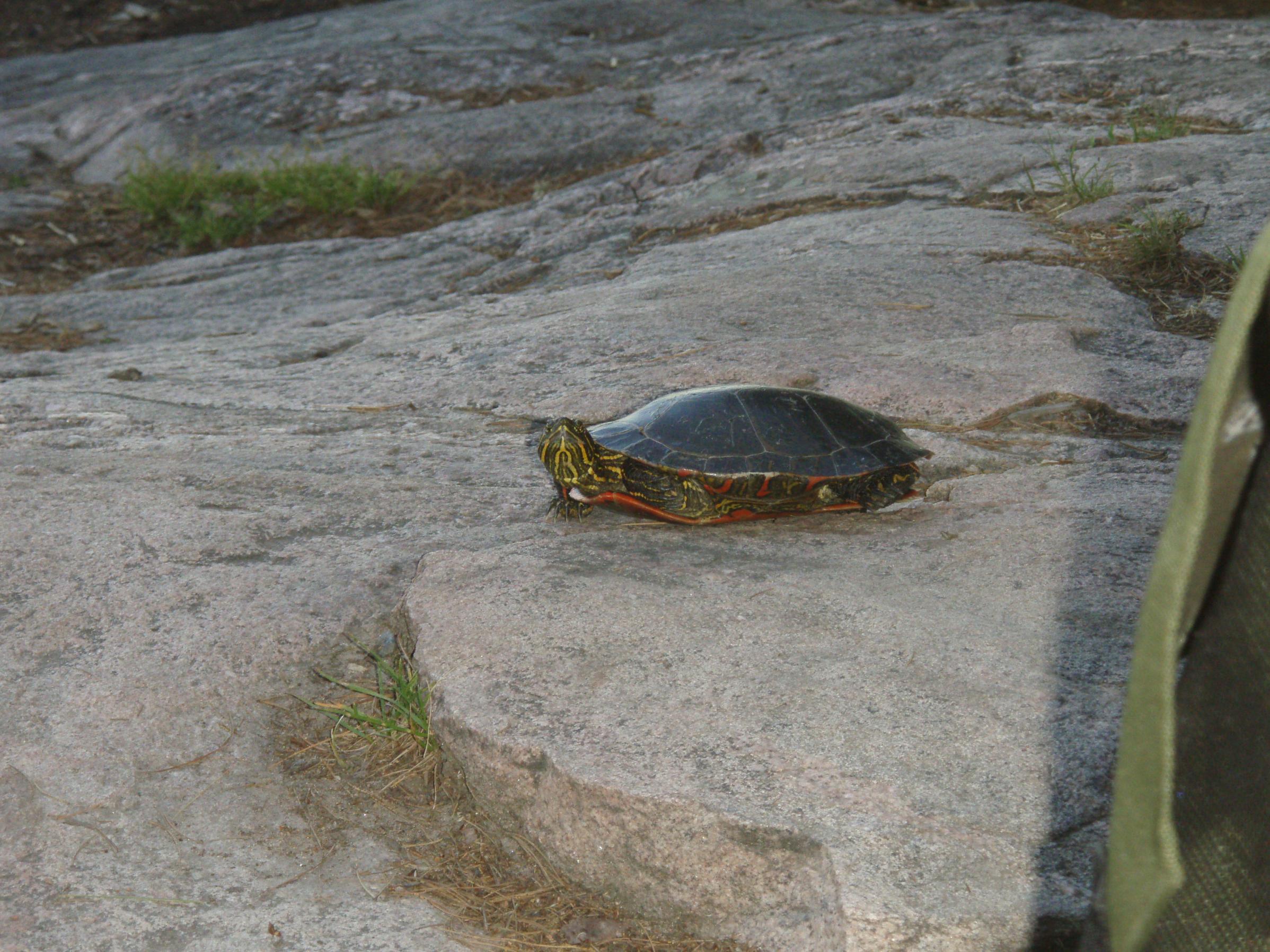 Upper Pauness Turtle