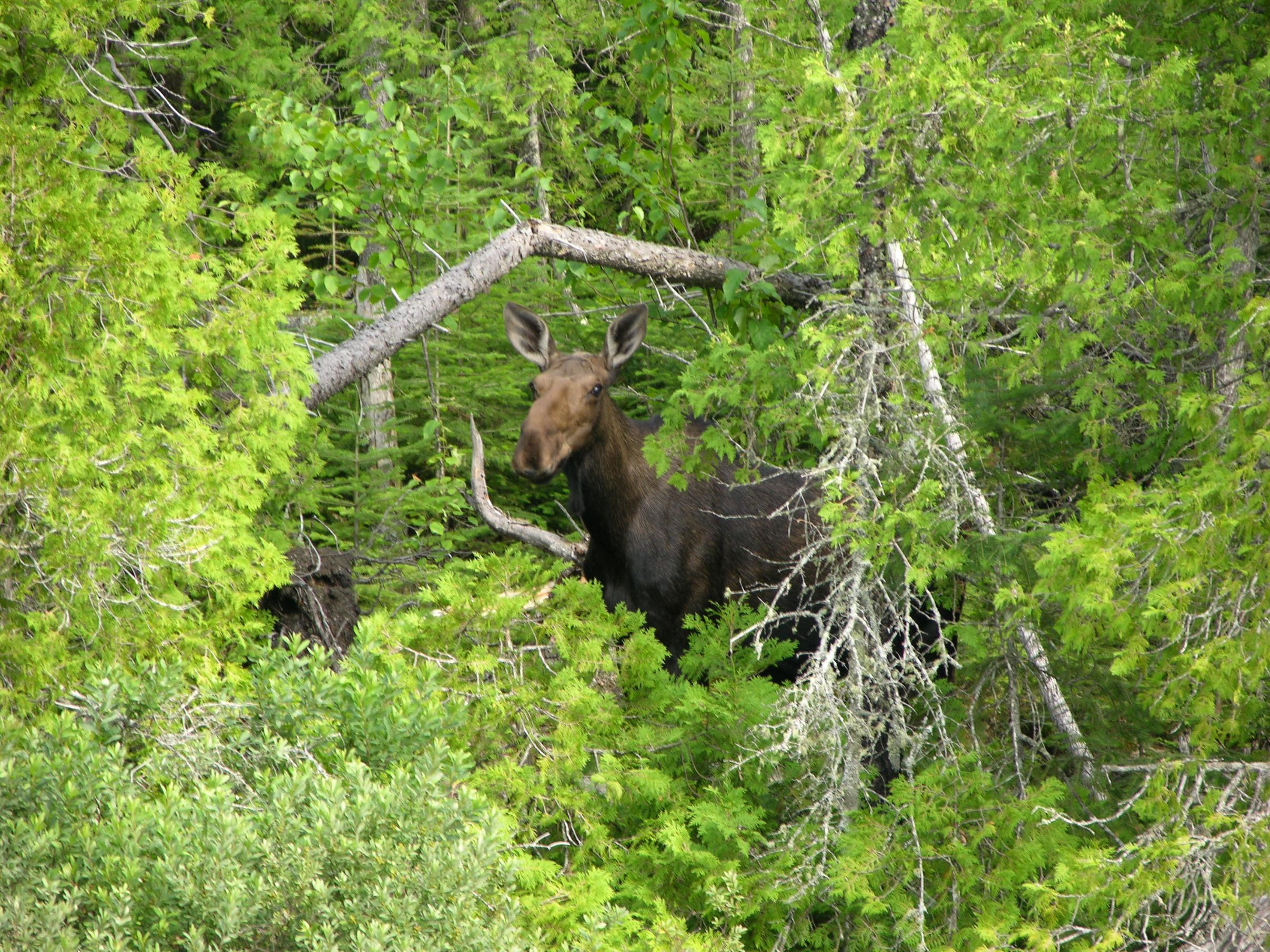 Cherokee Lk Moose Checking Us Out