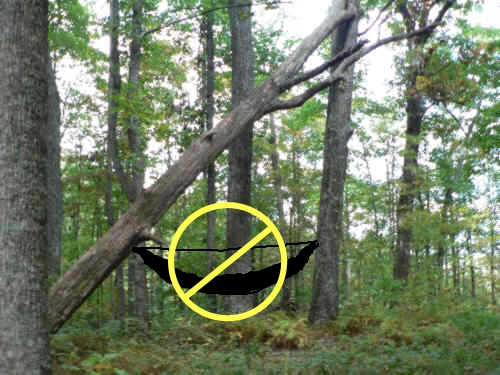 Medium image of usually a tree leaning against another tree or a broken limb dangling  an example picture  do not hang your hammock under this