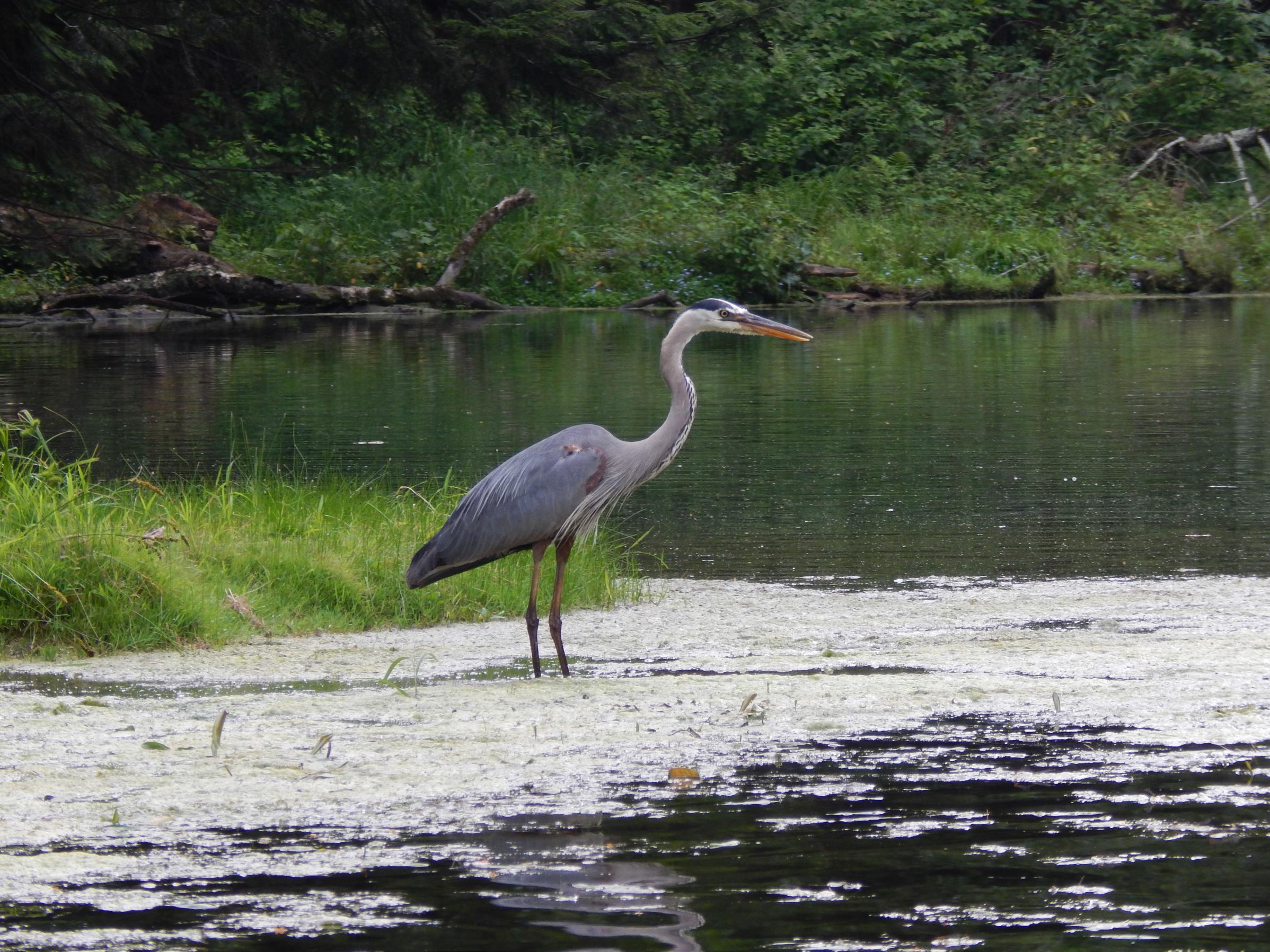 Mirror Lake Blue Heron