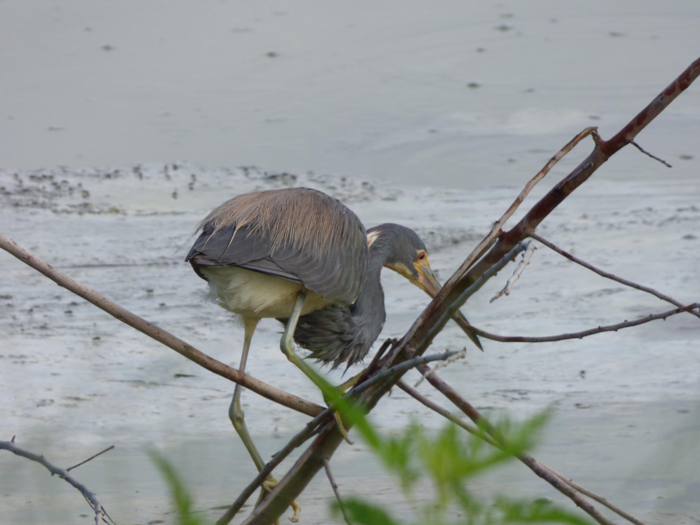 Baby Blue Heron.... Florida