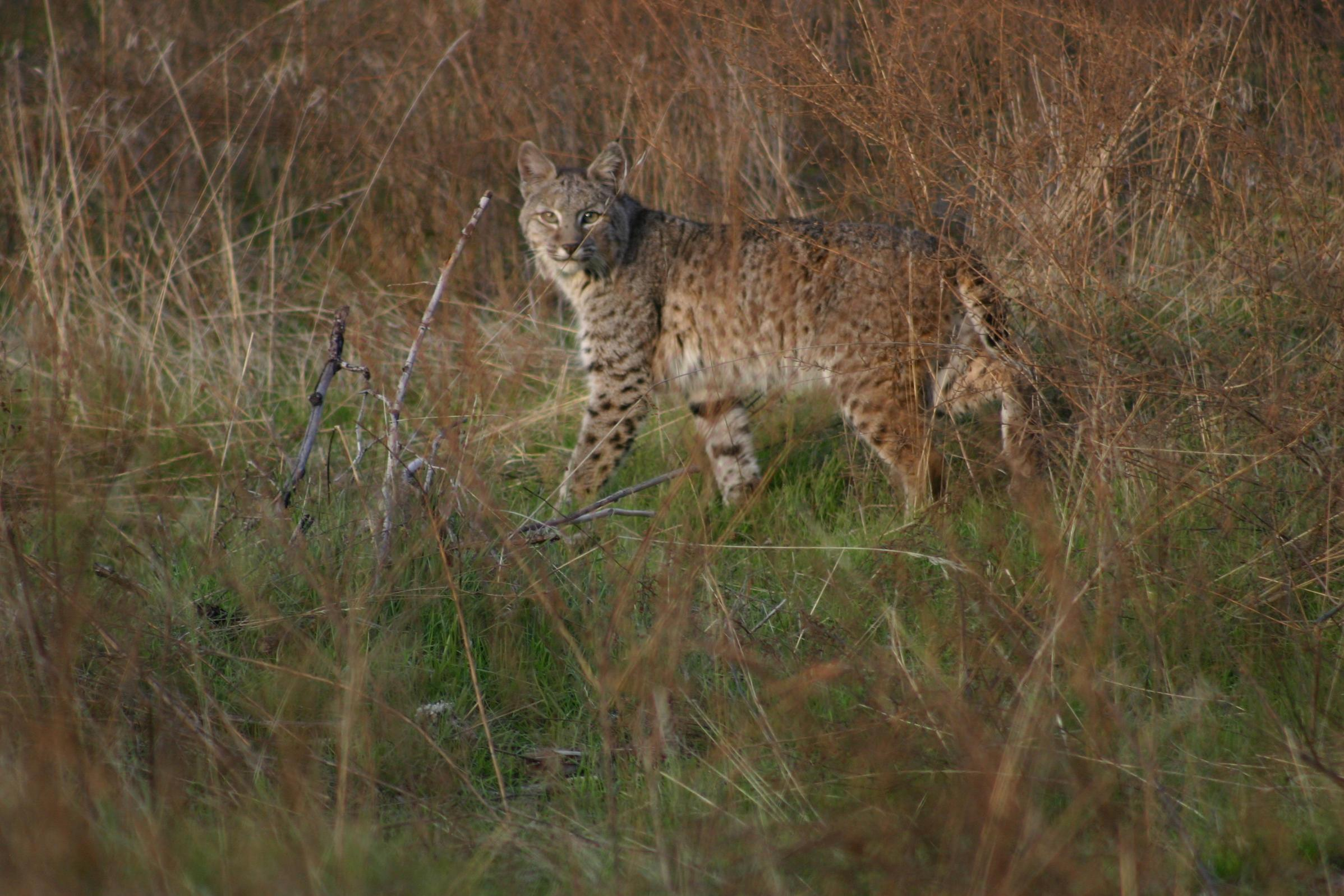 Bobcat in the back yard this afternoon