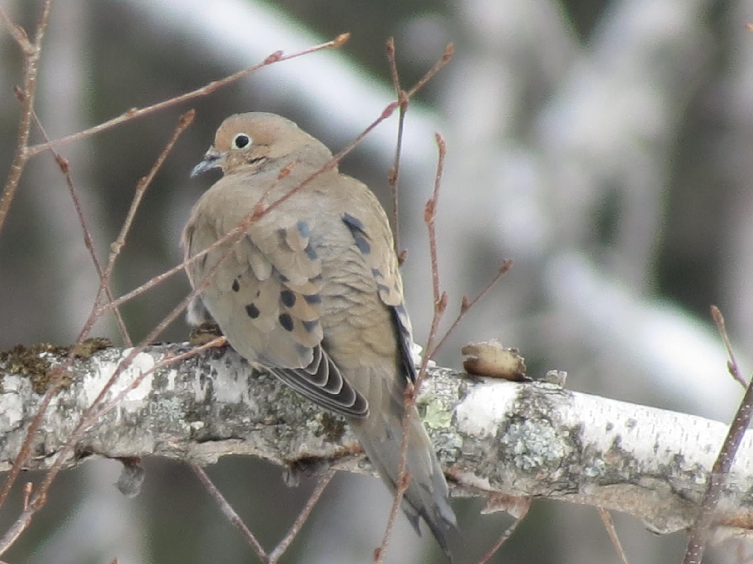mourning dove at gooseberry