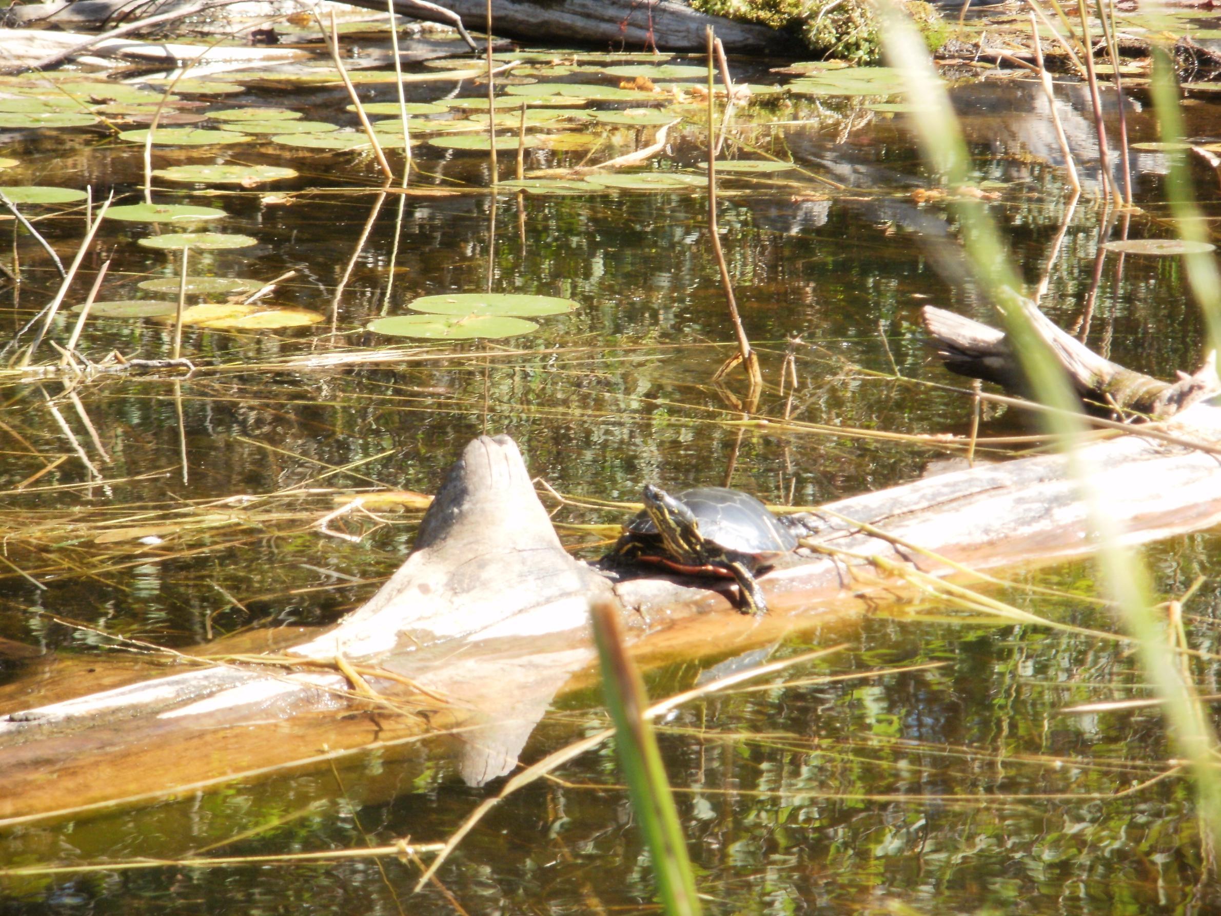Turtle bathing