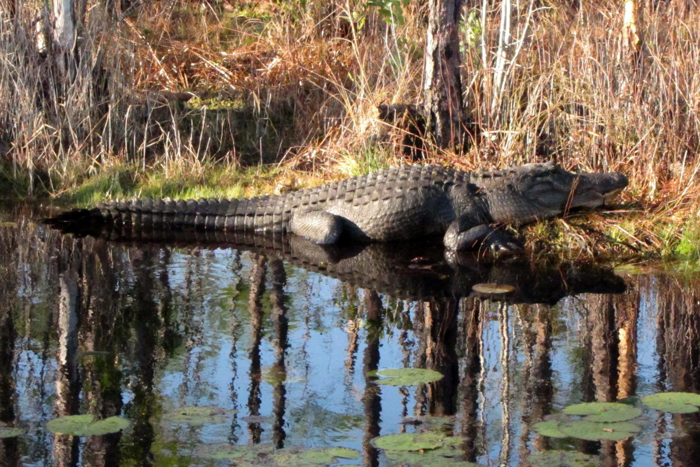 Okefenokee 'Gator