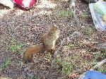 Red Squirrel in camp