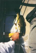 Ivy Island smallmouth