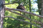 Bald eagle along south fork of Kawishiwi River just south of portage from Clear Lake