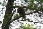 Bald eagle along N. Fork of Kawishiwi River