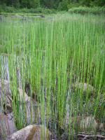 Reeds along portage from Lilypad Lake to unnamed lake at base of Silver Falls.