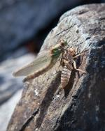 One of hundreds of hatching dragonflies at campsite on unnamed lake at base of Silver Falls.