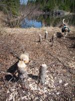 Beavers have been busy at northeast corner of trail loop.