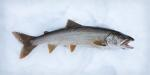 The first lake trout.