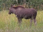 Cow moose spotted on creek/river area just before 160 rod portage over to Brent.