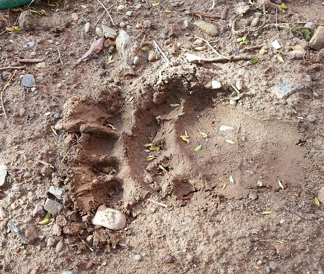 Clear Bear print at Camp Street House - Ely, MN