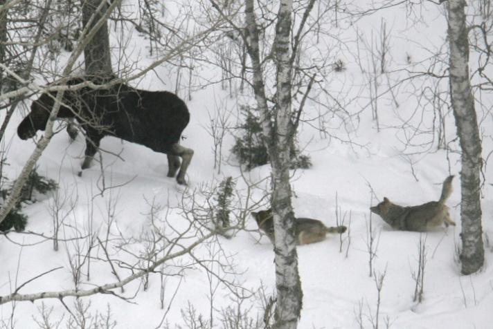 Moose Vs Wolves 01