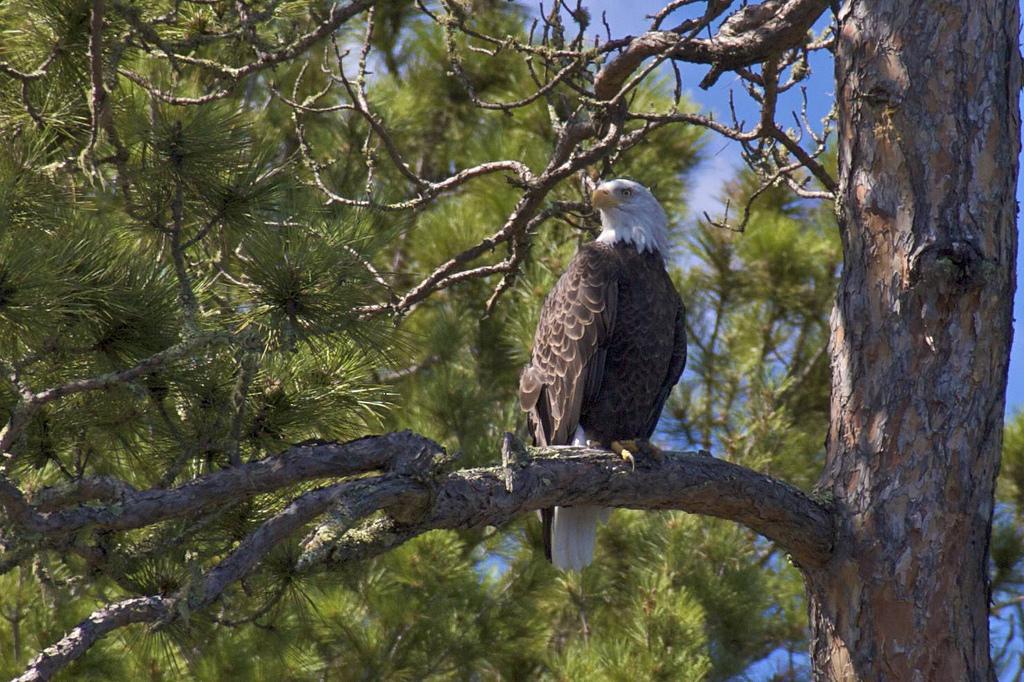 Eagle at Tiger Bay