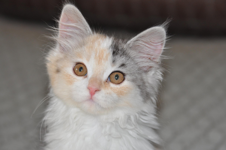 Zeva the Siberian Kitten at 10 weeks