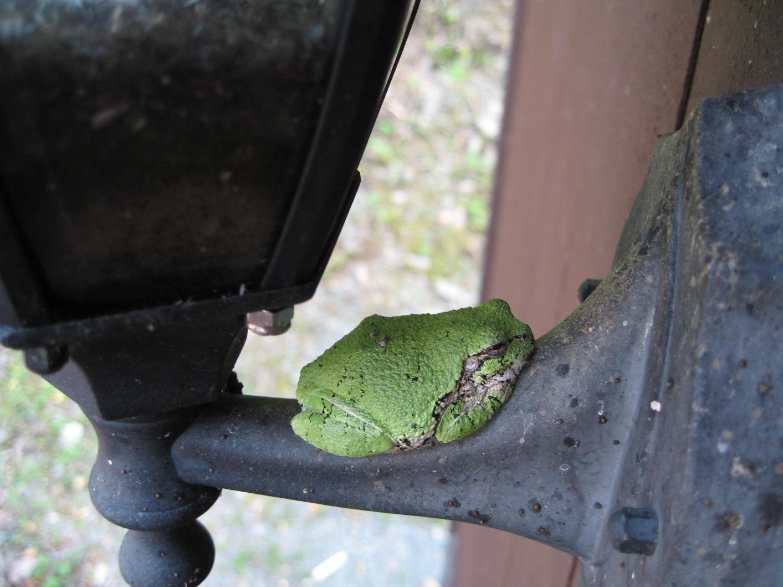 CBO frog