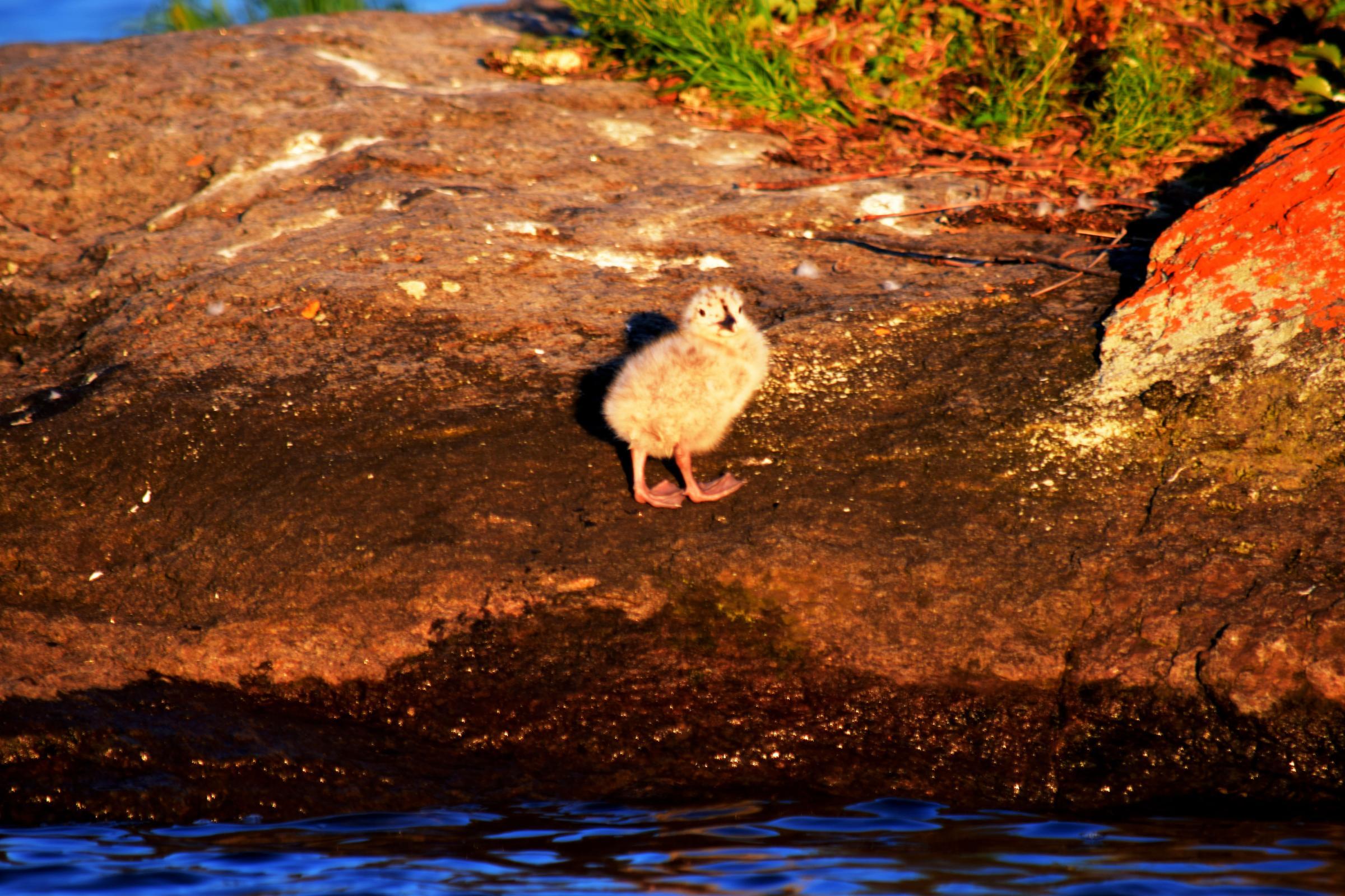 Baby tern