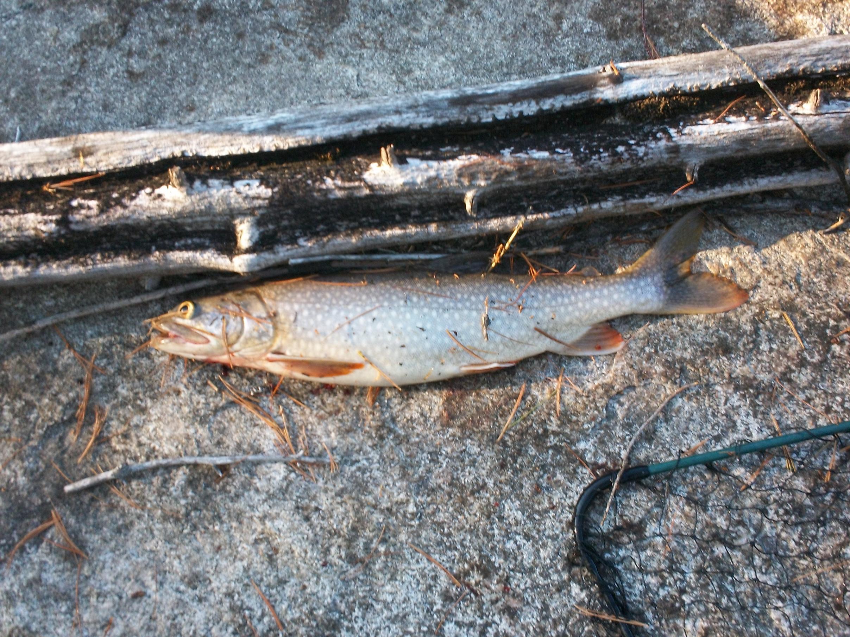 Fat Lake trout
