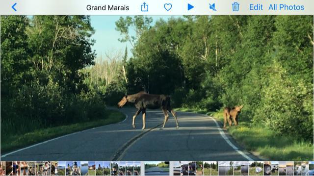 Gunflint Moose