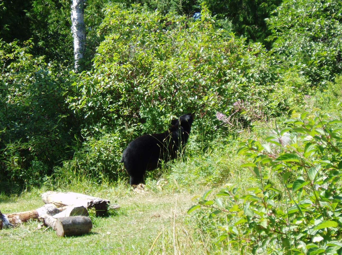 Bear on Knife Lake