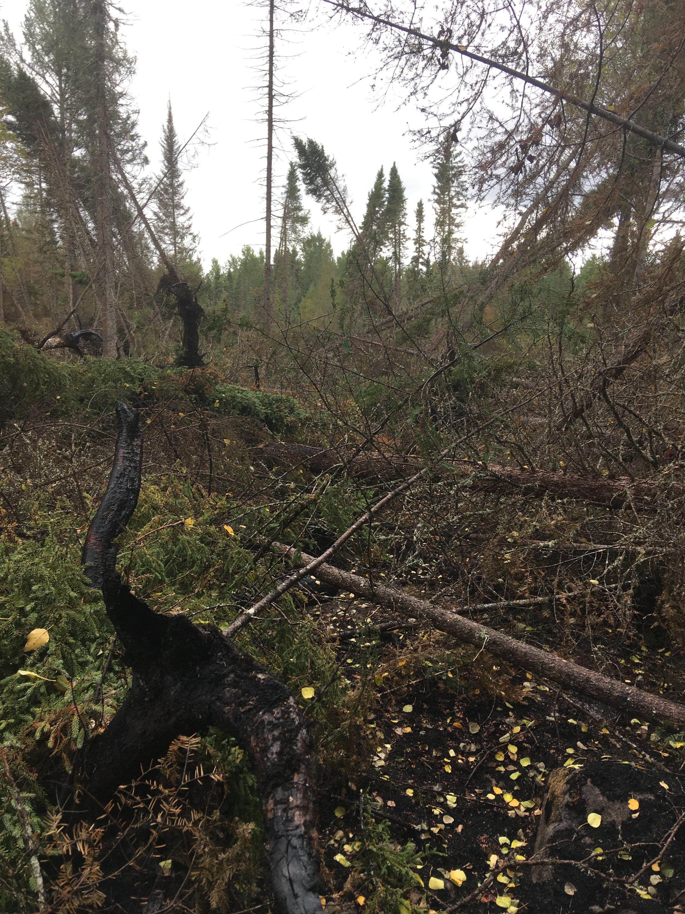 burned spruce forest
