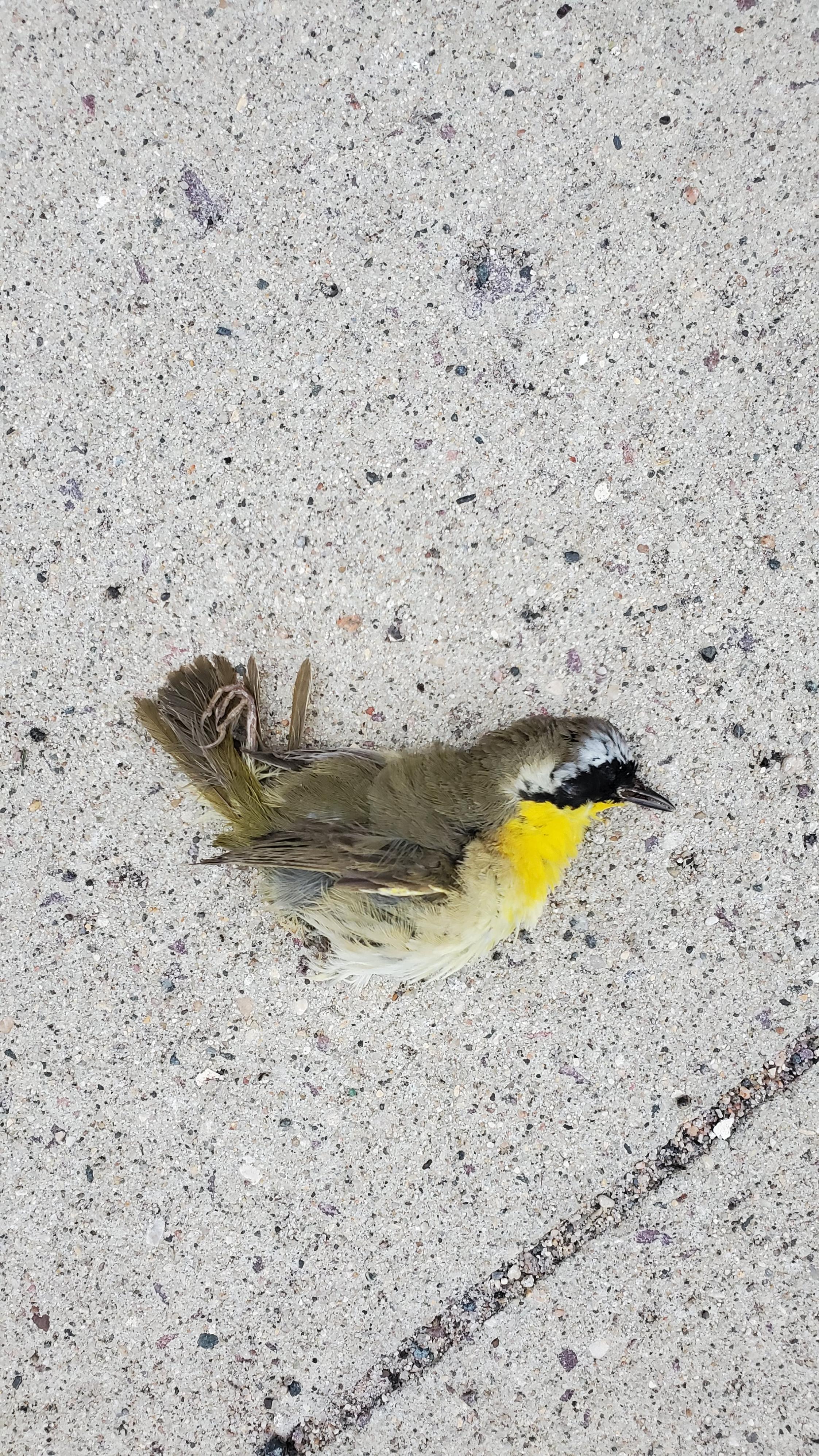 Dead yellow throat