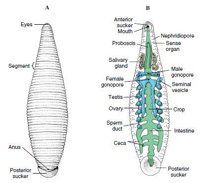 Leech anatomy