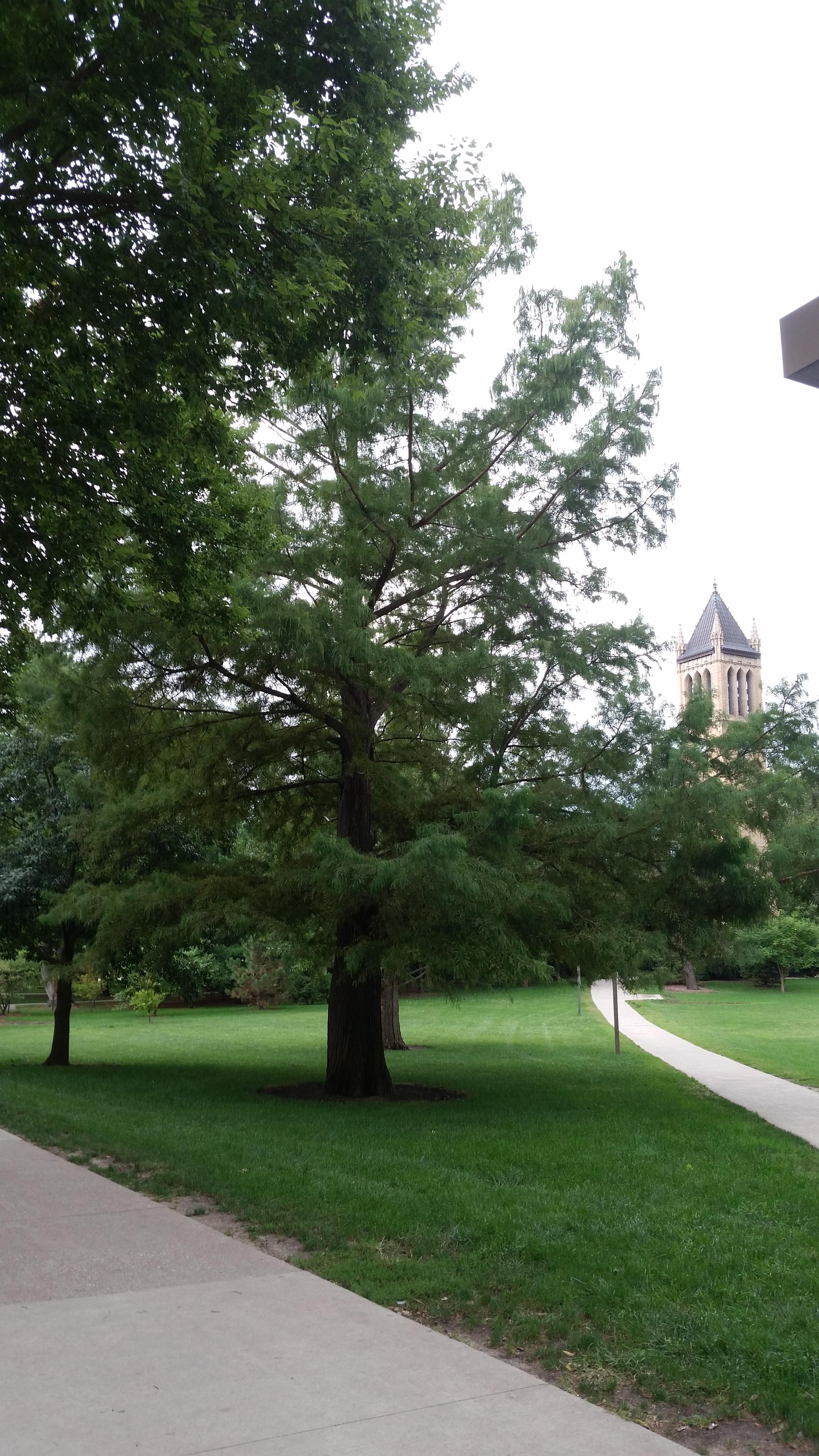 Taxodium tree