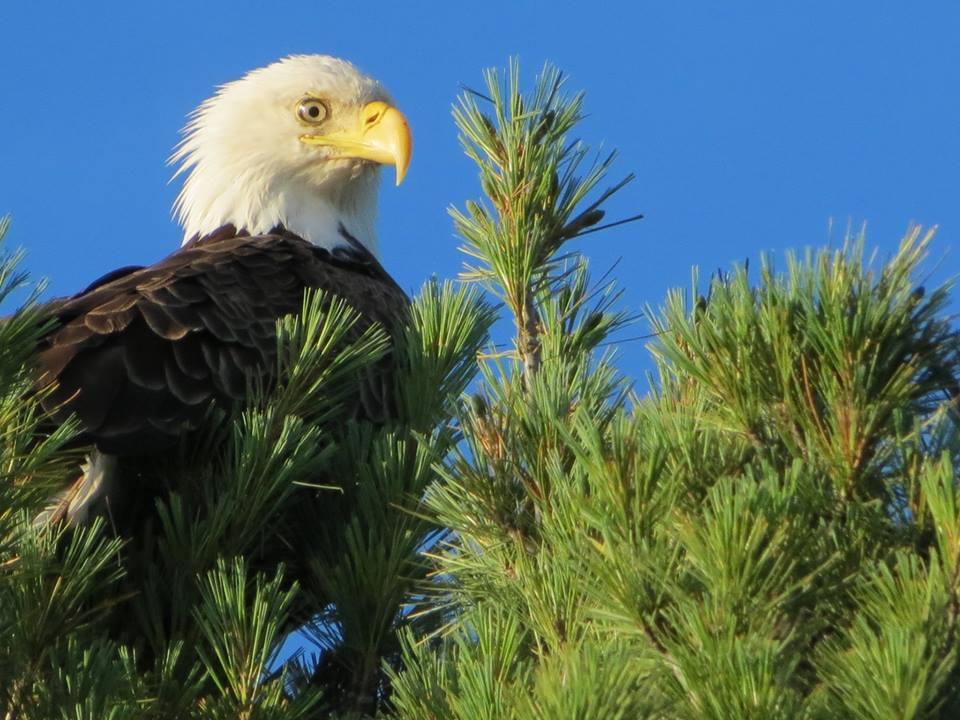Bold Bald Eagle