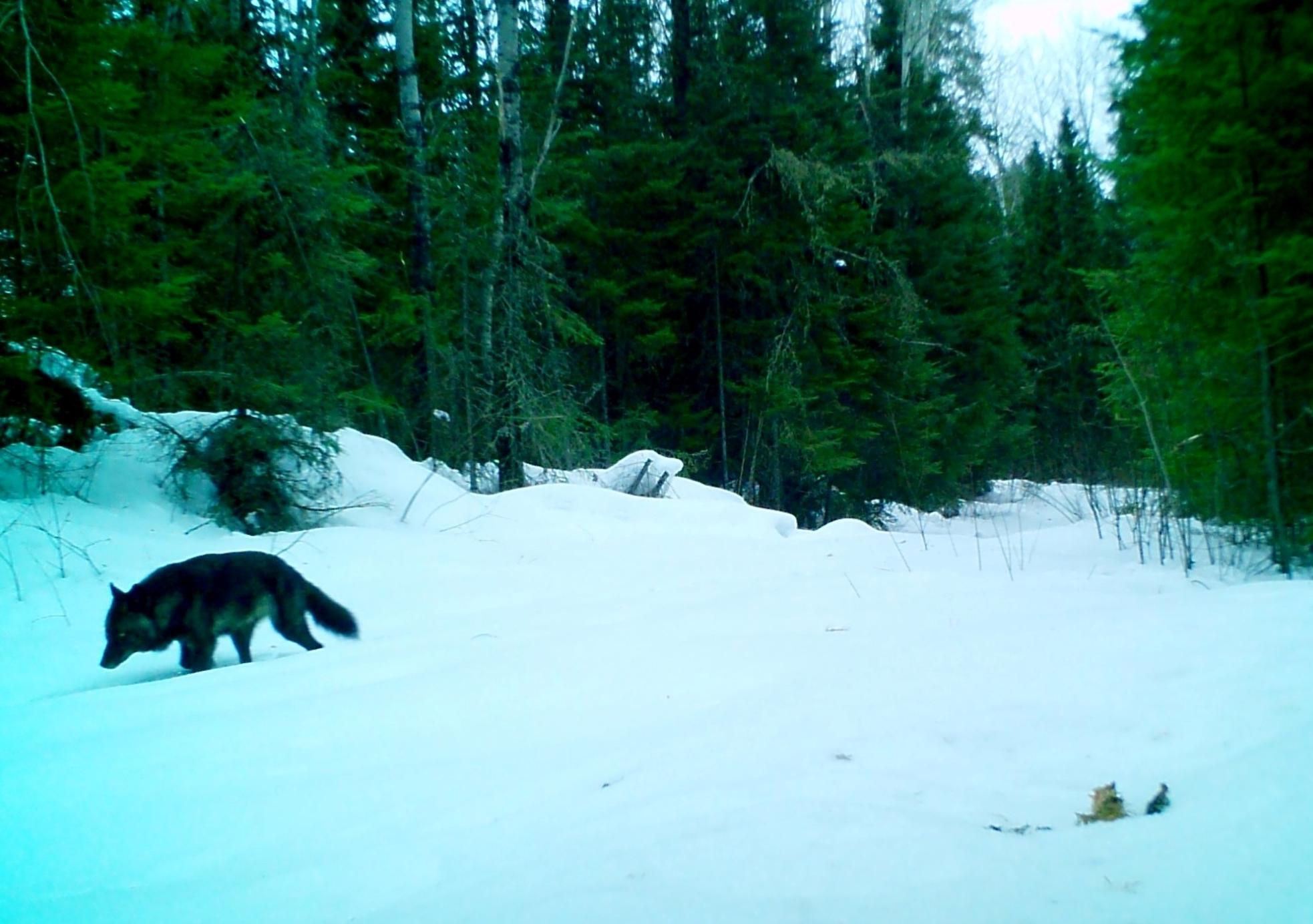 Black Wolf Run