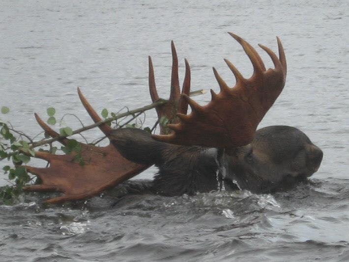 September Bull Moose
