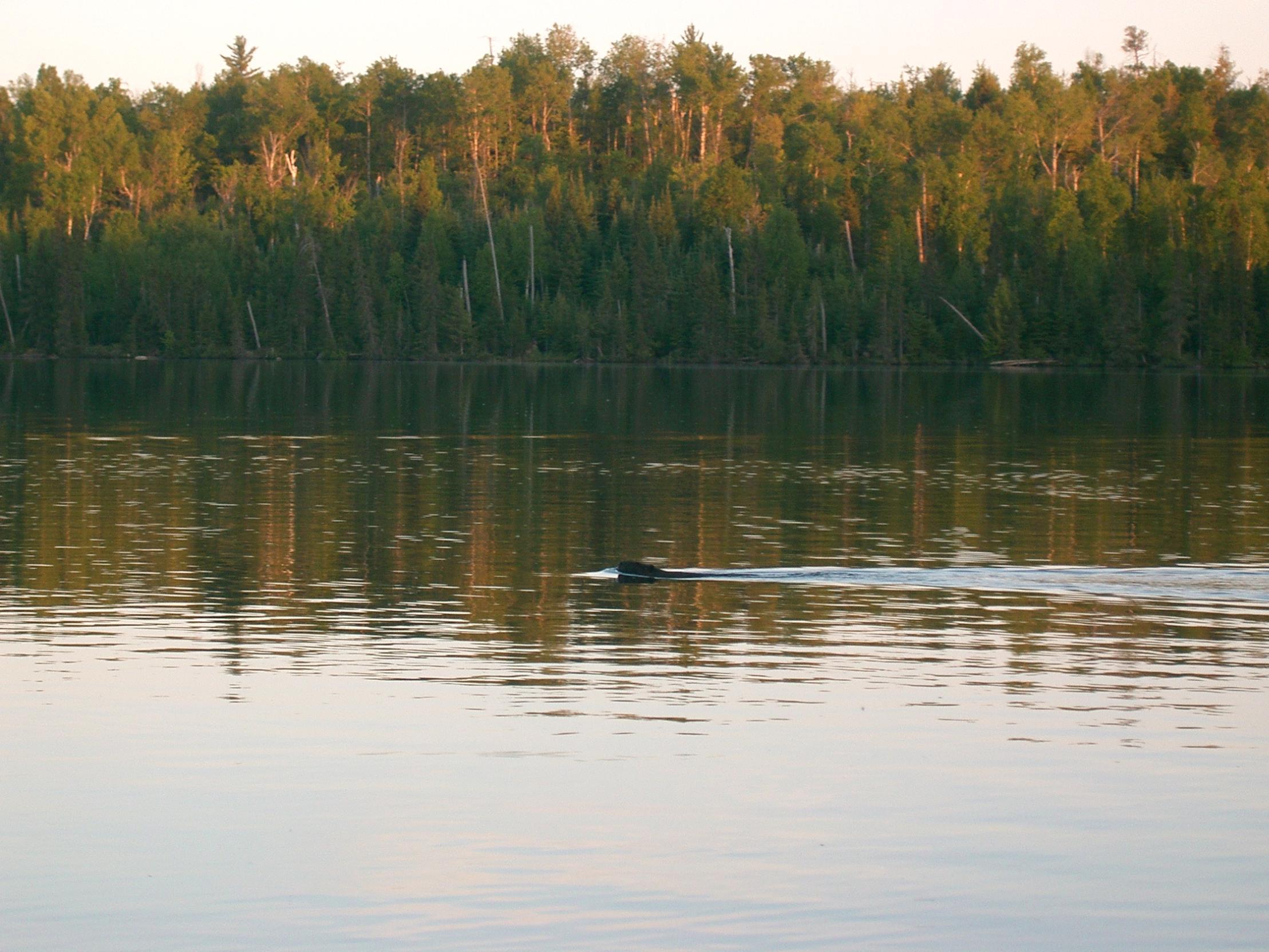 Beaver - Gun Lake
