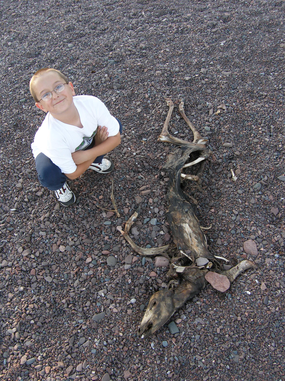 Deer carcass